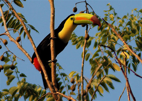 Toucan over trailer in Palenque