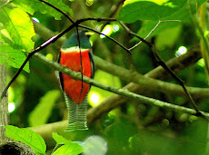 Trogon at Palenque ruins