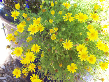 dahlberg daisy