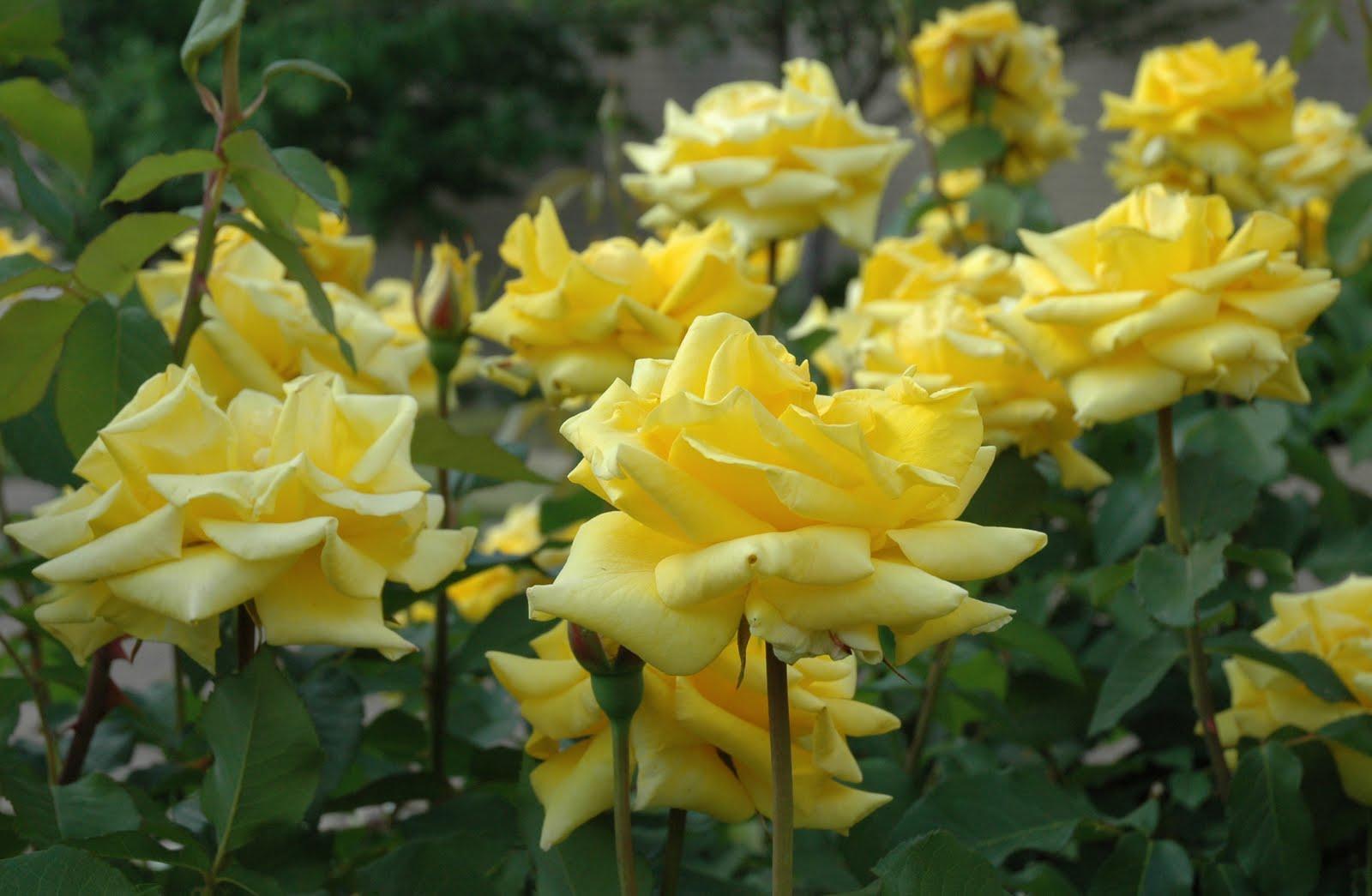 Dig It Grandmas Yellow Rose