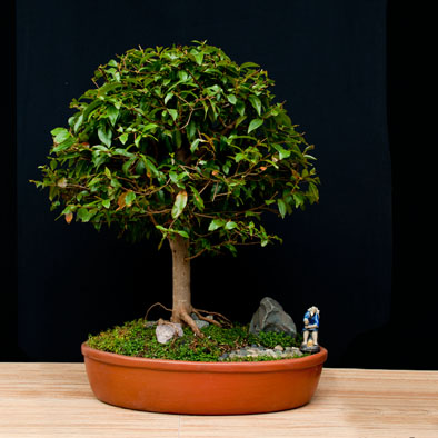 Ecuabonsai fichas de especies para bonsai for Como cultivar bonsais