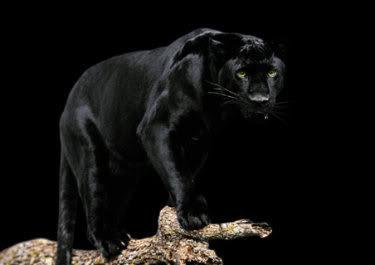 karma dharma bhutadaya beware the black jaguar
