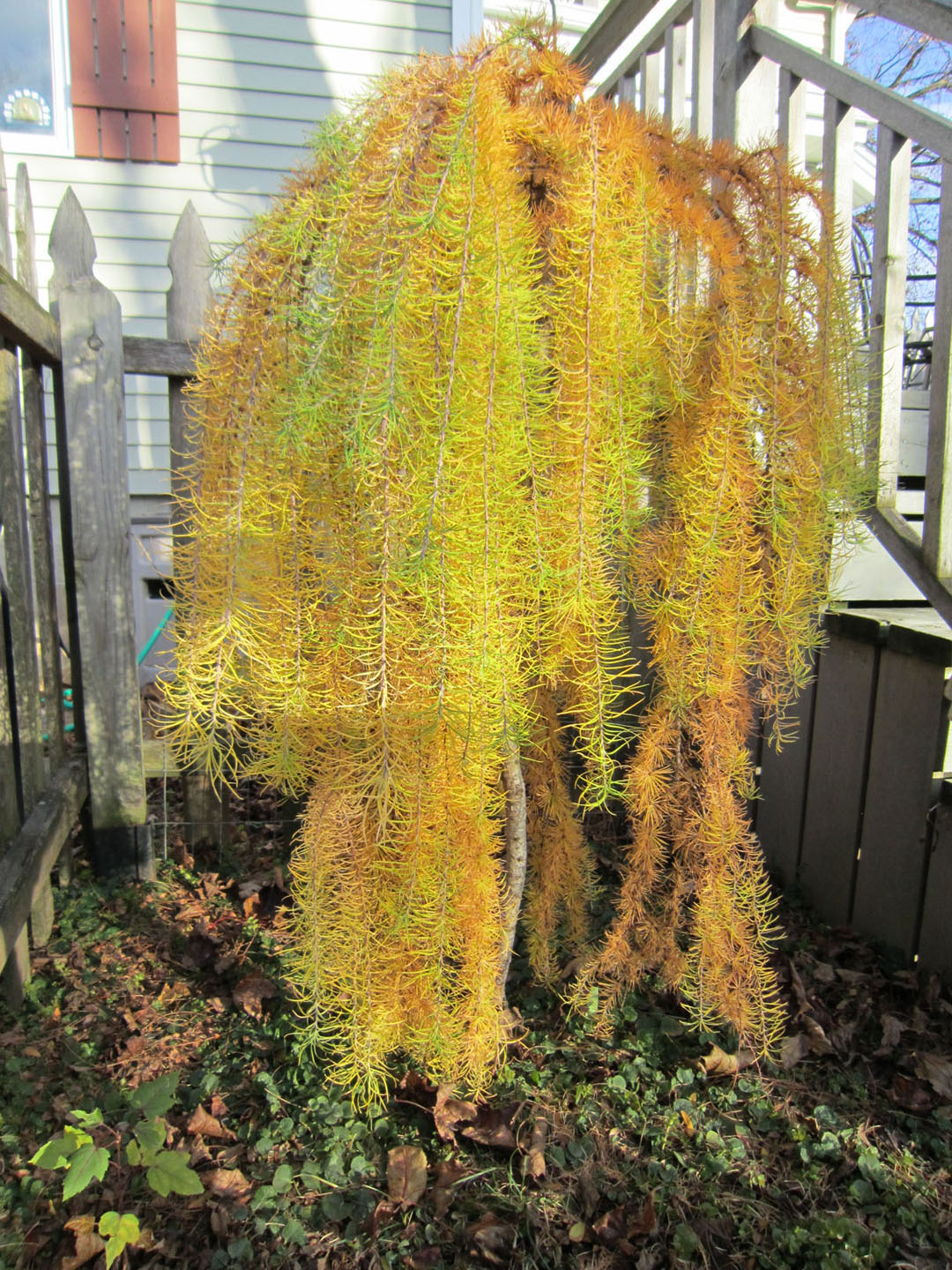 image gallery weeping larch
