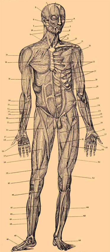 Figure drawing muscles of the human body