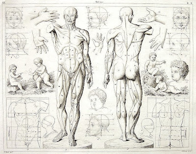 Anatomy Photos Artist Human Figure http://figure-drawings.blogspot.com/2008/10/human-anatomy-for-artists.html