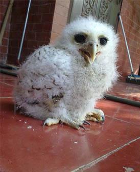 KetupaKetupus Partner Bubo Sumatranus Owl