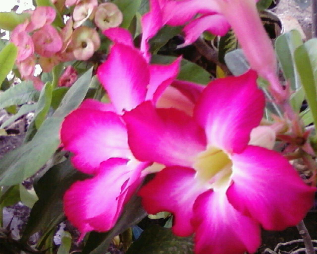 bunga kamboja bunga tropis yang satu ini memang elok dipandang kuntum