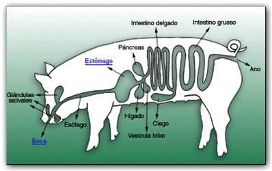 Digestivo de cerdo