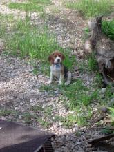 Jager puppy