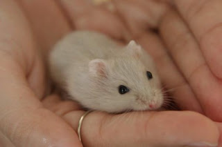 Hamster Winter White Violet