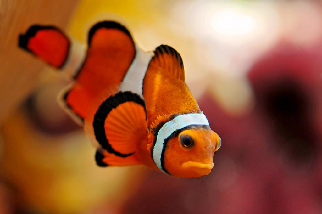 New aquariumist for Freshwater clown fish