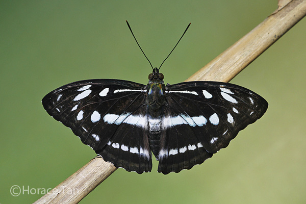 SS adult 01 Wingspan of Adult Butterfly: 60mm. Caterpillar Host Plants: Ilex cymosa ...