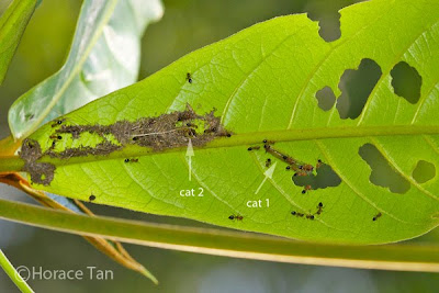 horace leaf video