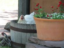 Hens in pots