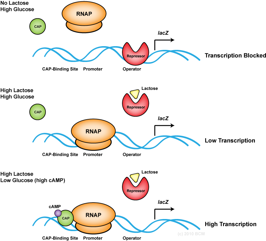 inducible operons anabolic