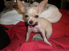My teacup chihuahua (Rico) loves money