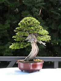 porsuk ağacı