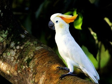 http://3.bp.blogspot.com/_s5ontW7DcbI/TNa4WQ25qkI/AAAAAAAAAg0/eou3iW4OD_E/s400/yellow-crested+cockatoo+Cacatua+sulphurea.jpg