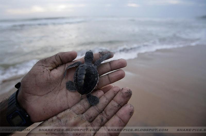 turtle hatchery in kosgoda