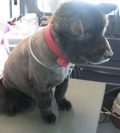 Chow Chow Appearance Grooming | Dog Breeds Picture