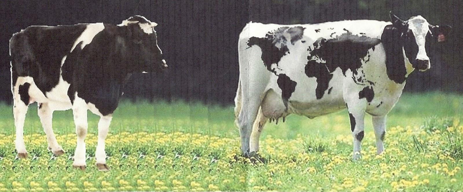 Edad de Oro: «Las vacas aprenden geografía mirándose unas a otras ...