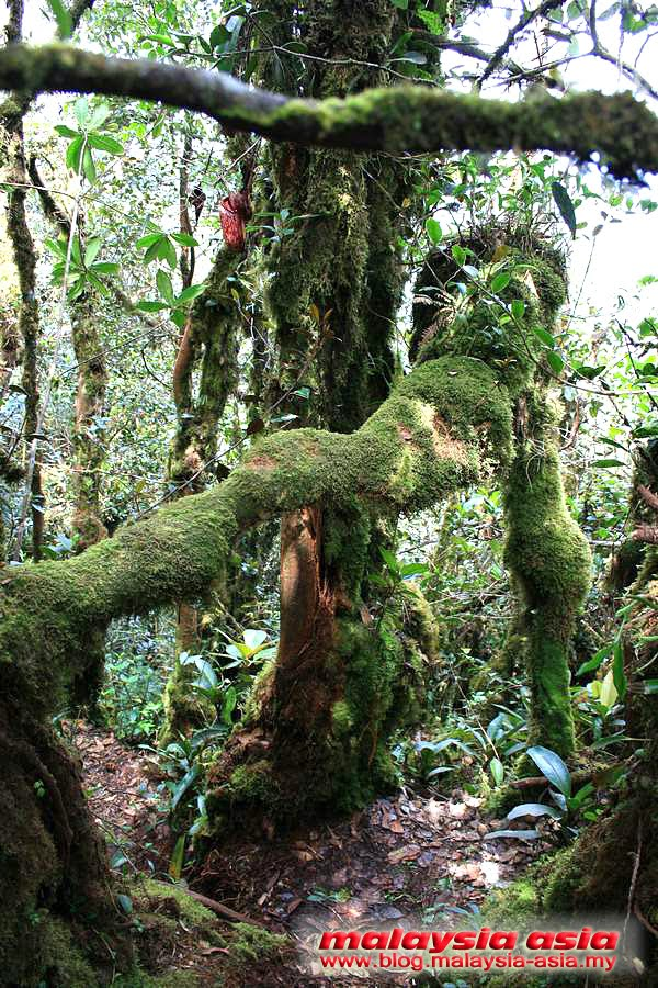 Mossy Forest Cameron Highlands Photo