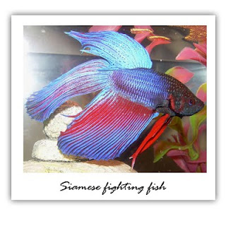 Betta fish care for beginners getting to know the betta fish for How to care for betta fish