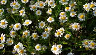 Chamomile Photo