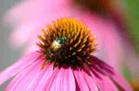 Photo of a Japanese Beetle