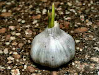 Fresh Garlic Bulb courtesy of Morguefile