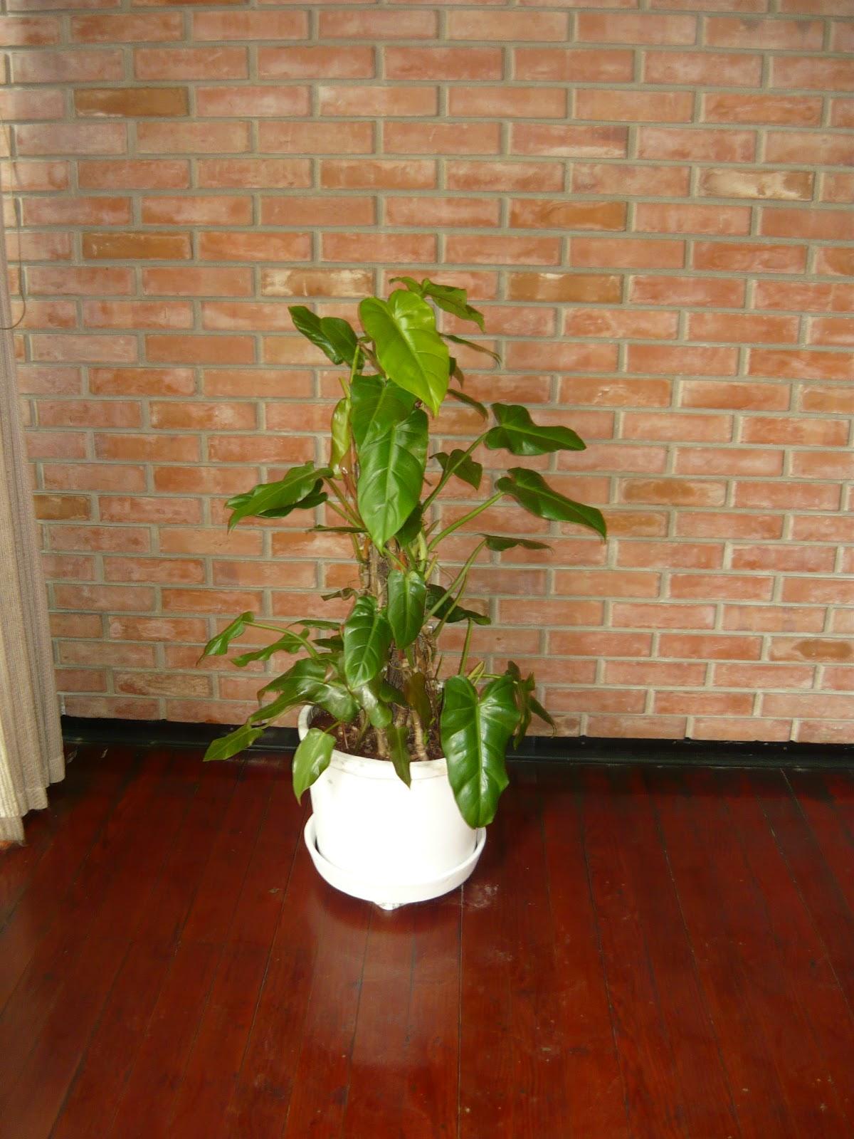 Plantas de interior macetas grandes for Plantas de interior duraderas