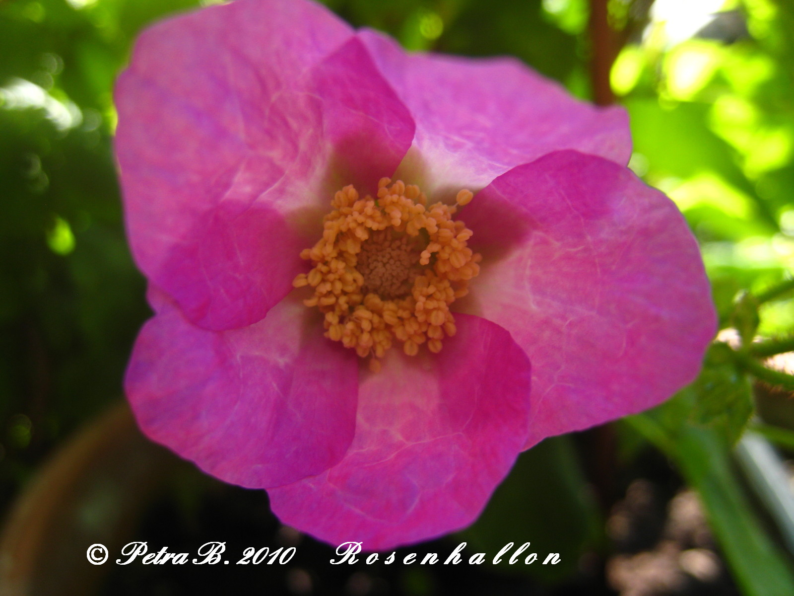 Trädgårdsdesign made by petra: rosenhallon och chew creepy den ...