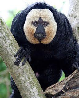 Macaco da cara branca