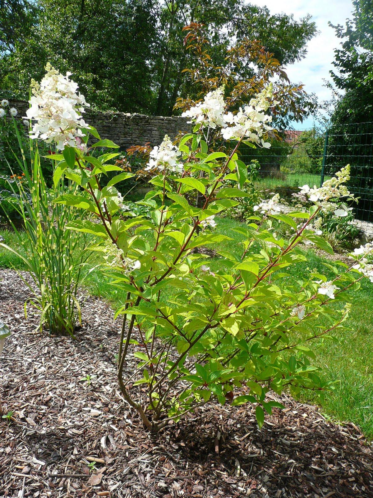 Notre jardin secret hydrangea pinky winky for Jardin secret 78