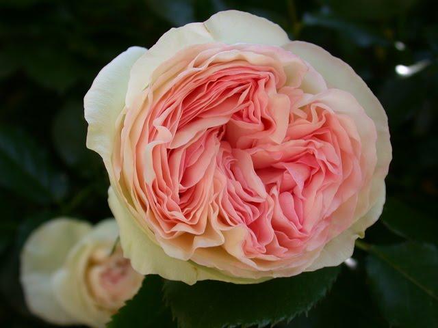 Notre jardin secret commande de rosiers for Rose meilland