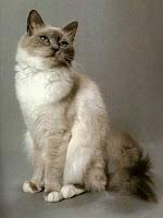 ras_kucing_birman