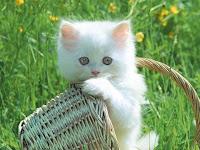 anak_kucing_lucu