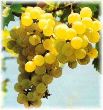 gambar_buah_anggur_kediri_kuning