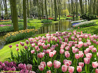 gambar_taman_bunga_tulip