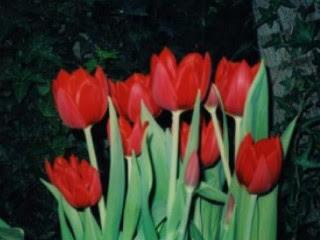 gambar_bunga_tulip_merah