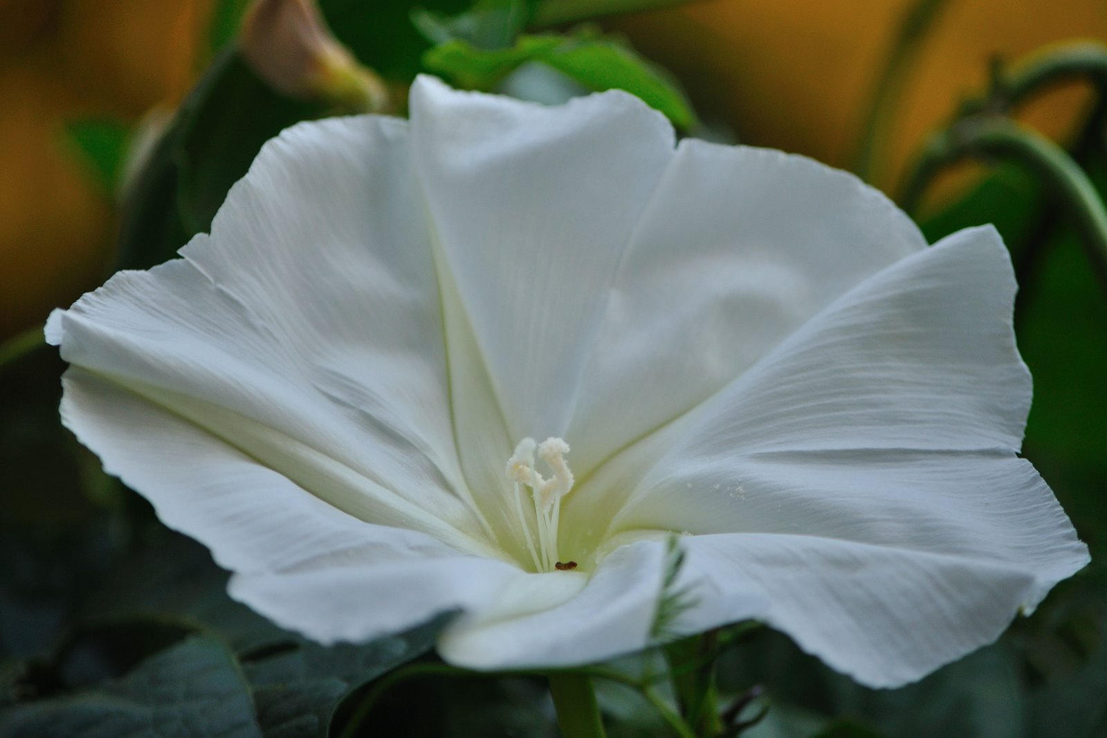 RobertJ graphy Moonflower