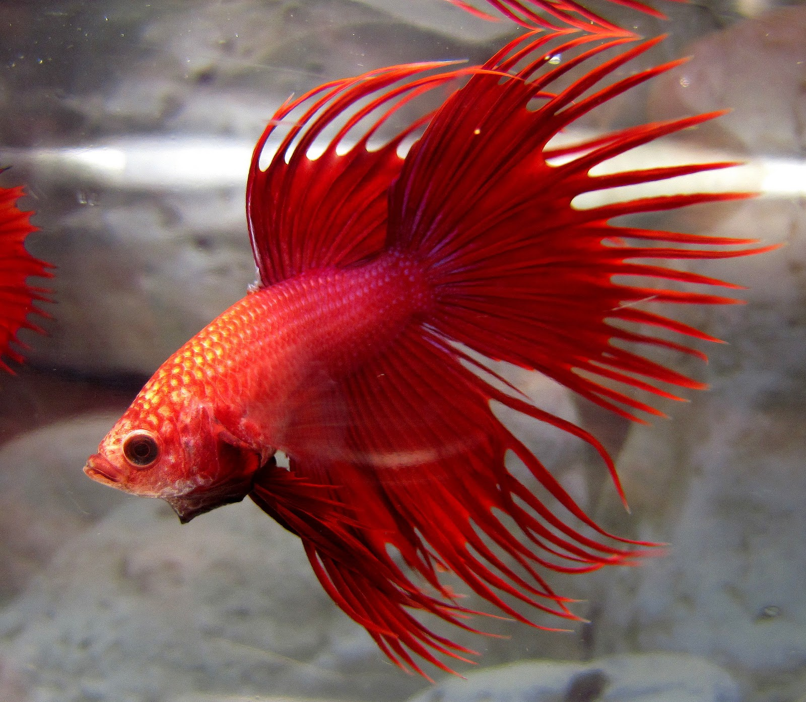 Buy Betta Fish in USA
