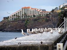Cometas de gaivotas no Porto do Funchal