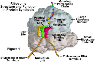 ribosome let's compare! ribosomes vs steering wheel