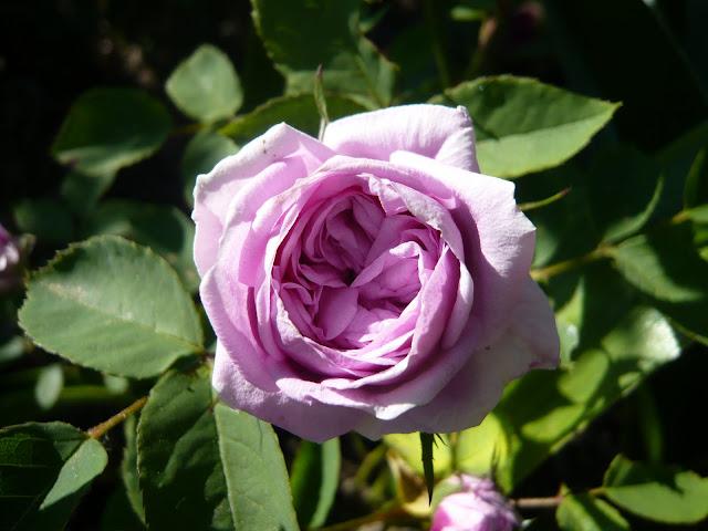 rosanas rosengarten namensrose rosana. Black Bedroom Furniture Sets. Home Design Ideas