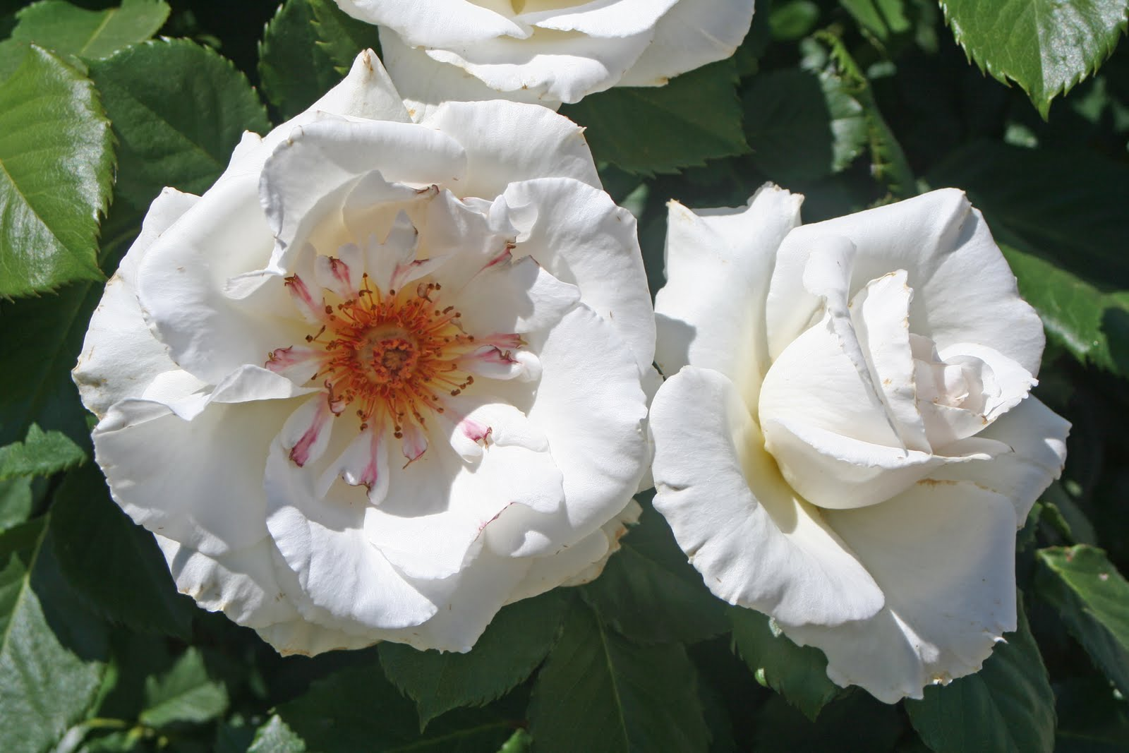 10 Dove David Austin English Rose Images Frompo