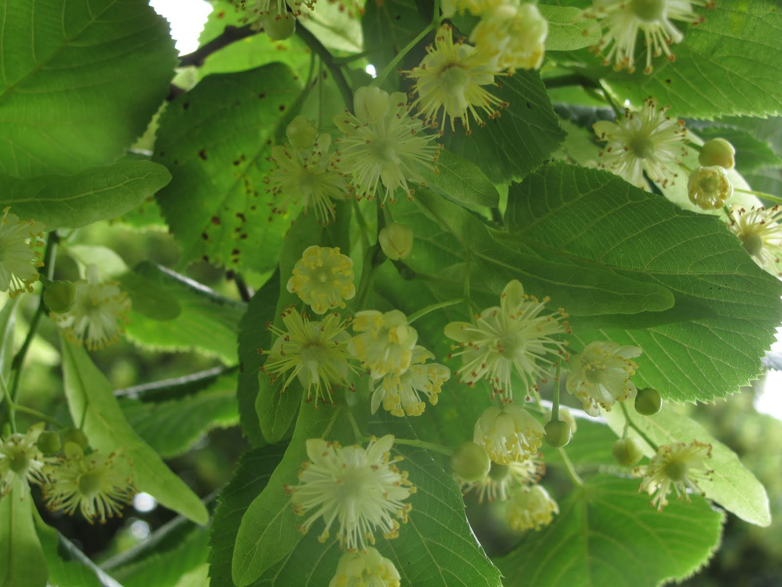 brooklynometry linden flowers