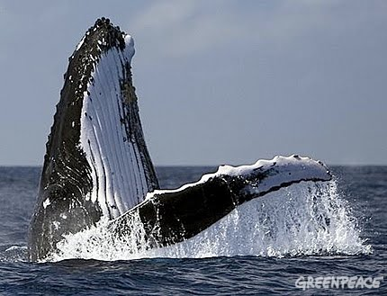song of the whale about whaling in japan essay An introduction to the structure of humpback whale, megaptera novaeangliae, song bunkyo machi, nagasaki 852, japan abstract humpback whale song of humpback.