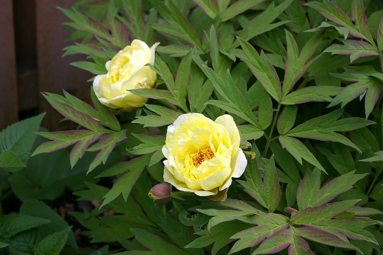 Great Bulbs And Perennials Tree Peonies In Slight Shade
