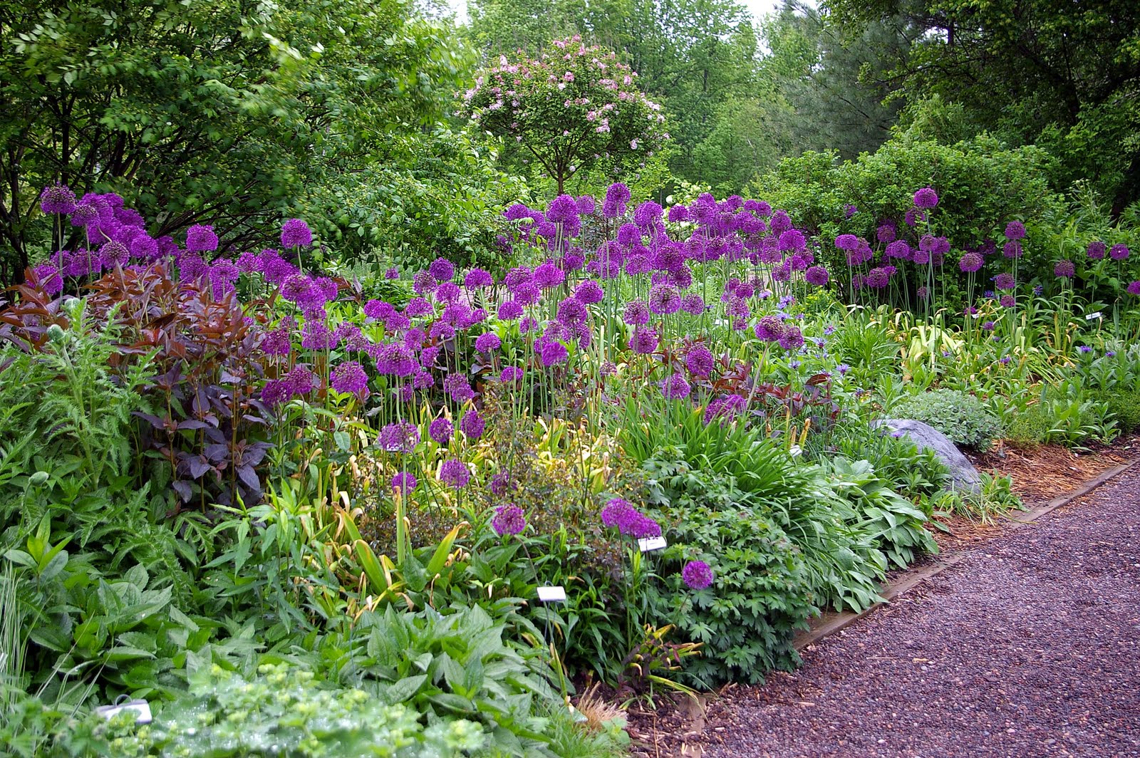 great bulbs and perennials allium 39 purple sensation 39. Black Bedroom Furniture Sets. Home Design Ideas